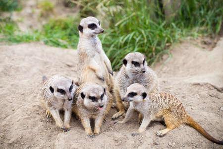 Wildlife animal.  Suricate family everyday.
