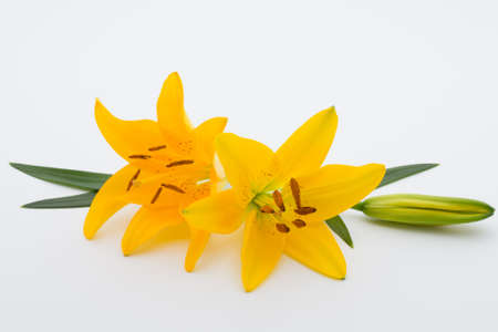 white lilly: Lilly flower with buds on a white background. Stock Photo