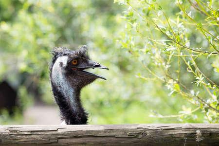 inquiring: Young  Emu bird gazing at the camera. Stock Photo