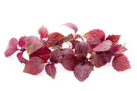 シソ (紫蘇) 白い背景の葉。 写真素材