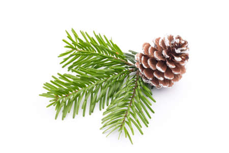 larch tree: Fir tree branch and cones isolated on white background. Stock Photo