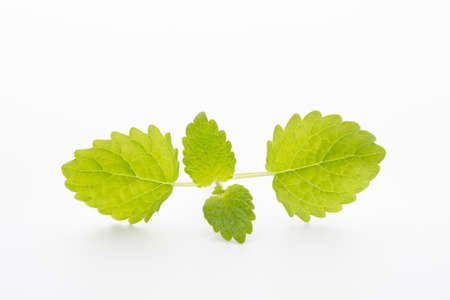 Mint leaves on the white background. Stock Photo