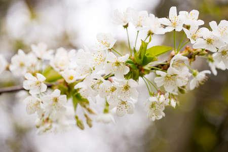 apri: Cherry blossom in spring for background.