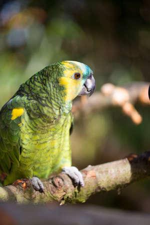 macaw: Parrot portrait of bird. Wildlife scene from tropic nature.