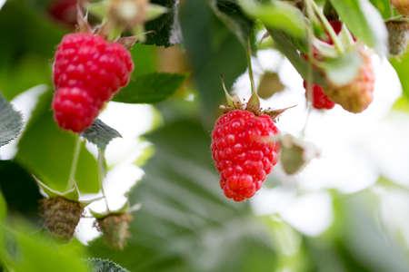 Eco raspberry ripe close up in the garden.  Banco de Imagens