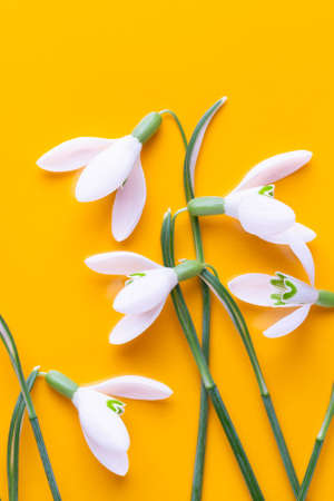Fresh snowdrops flowers on yellow background with place for text. Spring greeting card. Flat lay.