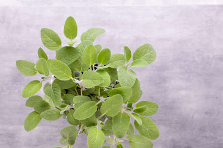 Salvia plant isolated on white background. Top view. Flat lay pattern.