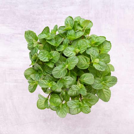 Parsley herb, basil, salvija, leaves, thyme,mint spice on white background. Zdjęcie Seryjne