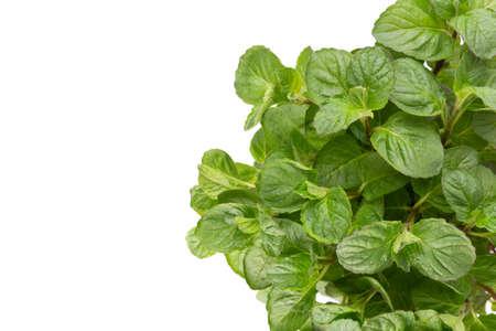 Parsley herb, basil, salvija, leaves, thyme,mint spice on white background. Standard-Bild
