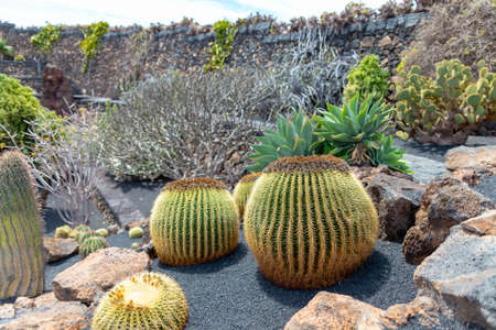 Cactus at Cactus Garden (Jardin de Cactus), situated in the village of Guatiza on the island of Lanzarote in the Canary Islands. 版權商用圖片