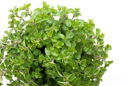 Erba di prezzemolo, basilico, salvija, foglie, timo, spezie di menta su sfondo bianco.