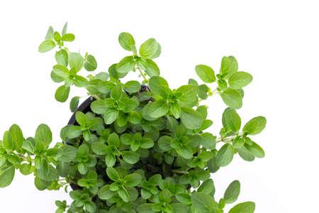 Parsley herb, basil, salvija, leaves, thyme,mint spice on white 写真素材