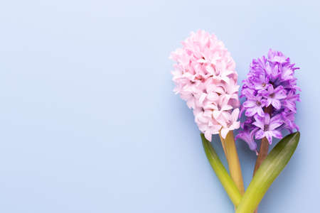 Pink Hyacinth flower, Spring flowers. The perfume of blooming hyacinths is a symbol of early spring. Greeting card, Flat lay. Banco de Imagens
