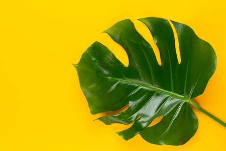 Monstera leaf on yellow background. Palm leaf, Real tropical jungle foliage Swiss-cheese plant. Flat lay and top view. Reklamní fotografie - 128801514