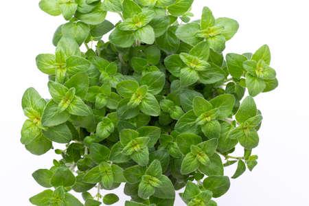 Parsley herb basil salvija leaves on white background.