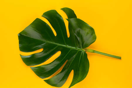 Monstera leaf on color background. Palm leaf, Real tropical jungle foliage Swiss cheese plant. Flat lay and top view. Reklamní fotografie - 128677091