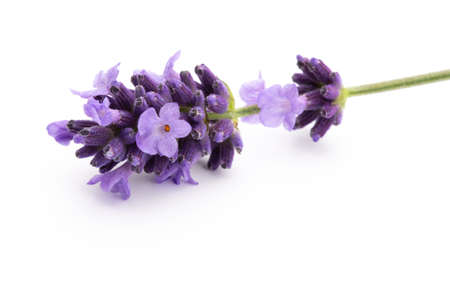 Lavender flowers bunch tied isolated on white background.