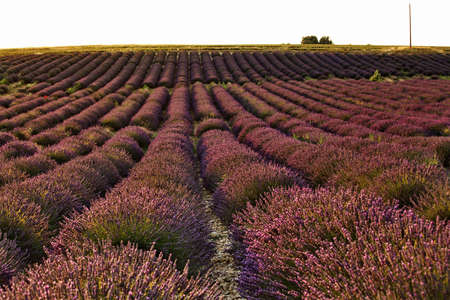Lavander field in Provence, France photo