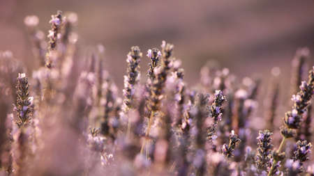 Lavander field in Provence, France photo