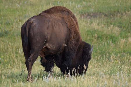 bison in Yellowstone 스톡 콘텐츠