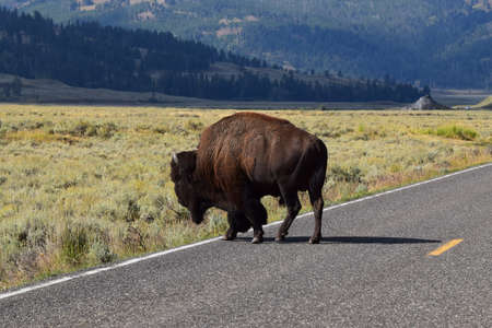 Bison crossing the street in Yellowstone