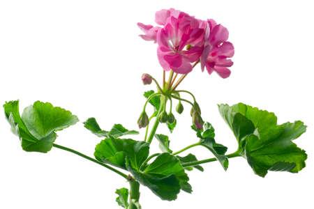 closeup young plant of geranium – scion Stock Photo