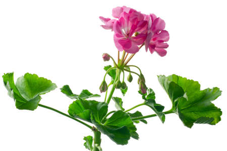 closeup young plant of geranium � scion photo