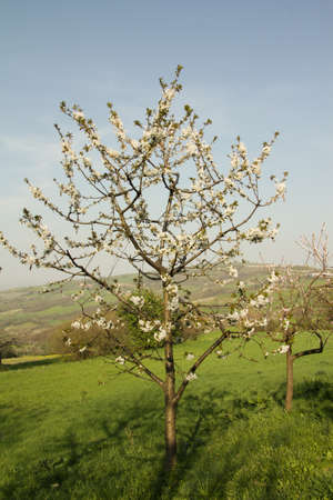 young flowering apple tree in a farm photo