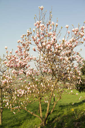 young magnolia tree in bloom in a farm photo