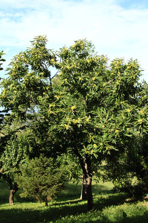 chestnut tree: young leafy chestnut tree in a farm