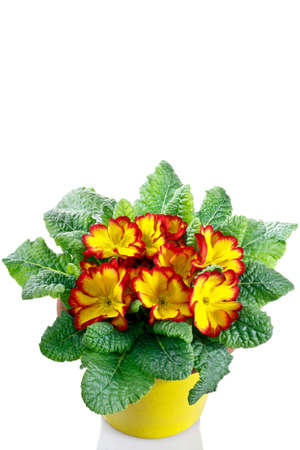 polyanthus: primrose in pot on a white background Stock Photo