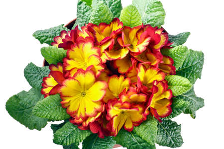 polyanthus: closeup of primrose flowers and leaves