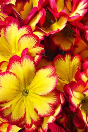 polyanthus: closeup of primrose flowers