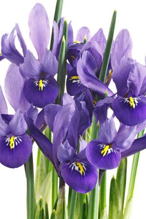 flor violeta: flores y hojas de iris sobre un fondo blanco