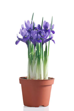 reticulata iris: flowering iris plant in pot on a white background