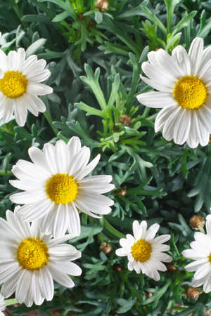 closeup of daisy flowers and leaves Stock Photo