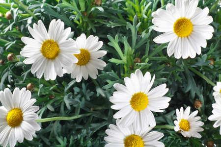 데이지 꽃과 나뭇잎의 근접 촬영 스톡 콘텐츠