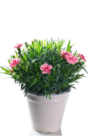 flowering carnation plant in pot on a white background