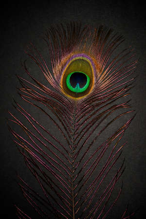 chromatic colour: Peacock feather on a dark background.