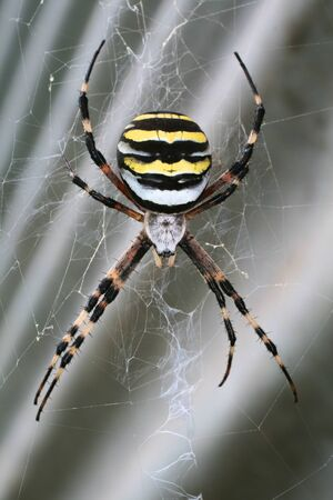 Black and yellow spider (argiope) on his web. photo