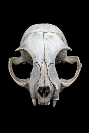 animal skull: Cat skull isolated on a black background Stock Photo