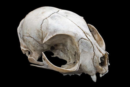 ghoulish: Cat skull isolated on a black background Stock Photo