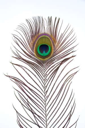 chromatic colour: A single peacock feather on white background.
