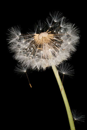 taraxacum: Dandelion (Taraxacum officinale) isolated on a black background Stock Photo