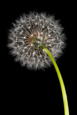 Dandelion (Taraxacum officinale) isolated on a black background Stock Photo - 9452083