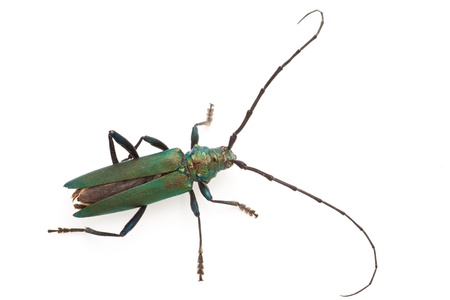 longhorn beetle: Longhorn beetle isolated on a white background
