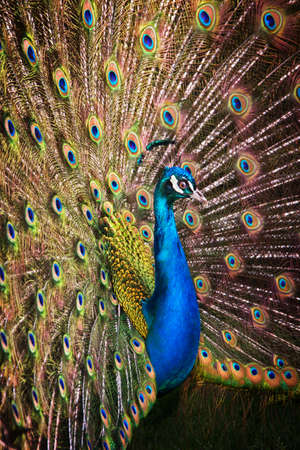 blue peafowl: A blue peacock displaying colourful and shiny feathers  Stock Photo