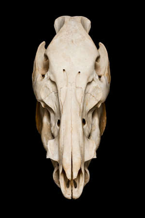 animal skull: Boar skull front view with lower jaw Stock Photo