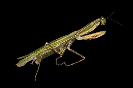 foreleg: Praying mantis isolated on a black  Stock Photo