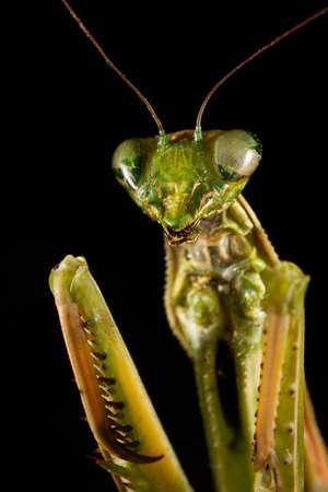 foreleg: Praying mantis isolated on a black  Stock Photo
